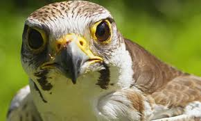 That cute, possessive little kestrel with her eyes on the look out for his wanting any cash.