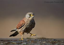 Cute little kestral